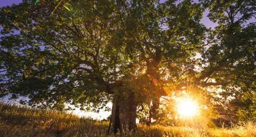tree-adoption-healing-trauma